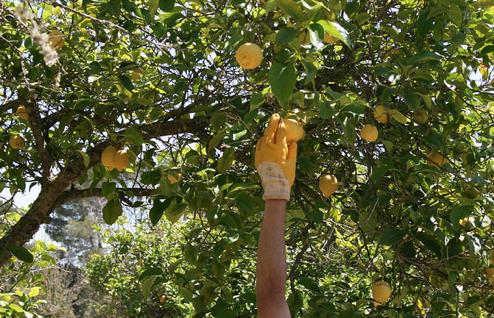 Pep Lemon